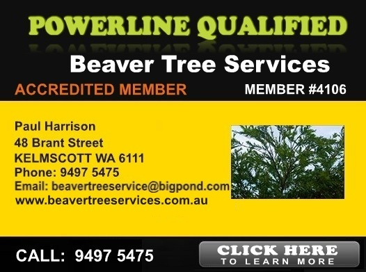 Beaver Tree Lopping
